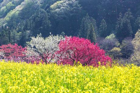花桃の里の菜の花畑と花吹雪の写真素材 [FYI01684600]