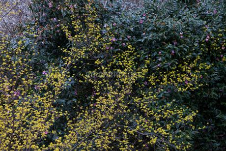 サンシュユの花と椿の写真素材 [FYI01684625]