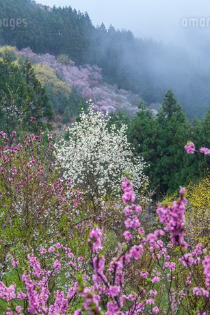 西吉野町の桃の花とハクモクレンの写真素材 [FYI01684654]
