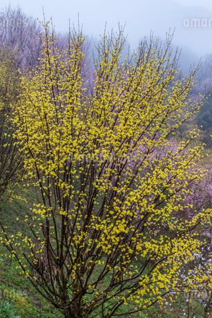 西吉野町のサンシュユと啓翁桜の写真素材 [FYI01684729]