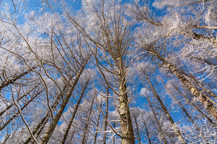 冬の聖高原の霧氷の樹木と青空の写真素材 [FYI01684734]