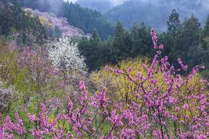 西吉野町の桃の花とハクモクレンの写真素材 [FYI01684735]