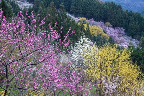 サンシュユの花と啓翁桜の写真素材 [FYI01684753]
