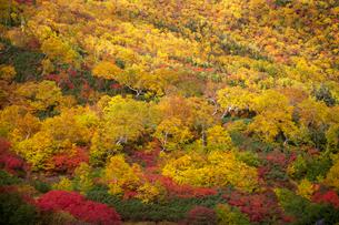 乗鞍岳の位ヶ原の紅葉の写真素材 [FYI01684776]