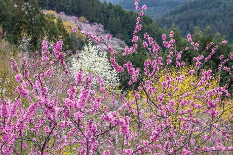 西吉野町の桃の花とハクモクレンの写真素材 [FYI01684779]