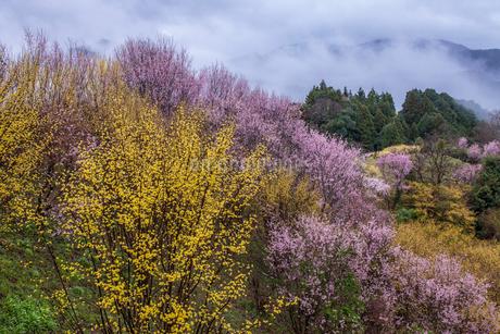 西吉野町のサンシュユと啓翁桜の写真素材 [FYI01684783]