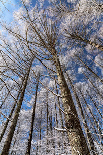 冬の聖高原の霧氷の樹木と青空の写真素材 [FYI01684818]