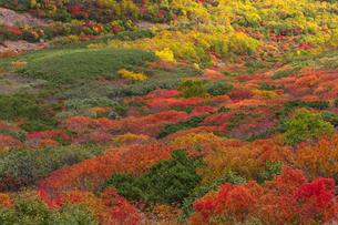 乗鞍岳位ヶ原の紅葉とナナカマドの写真素材 [FYI01684959]
