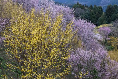 サンシュユの花と啓翁桜の写真素材 [FYI01685055]