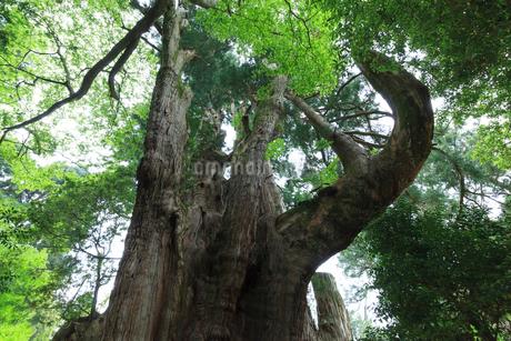 杉の大スギの写真素材 [FYI01685456]
