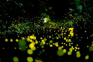名古屋城の外堀に舞うヒメボタルの写真素材 [FYI01688164]