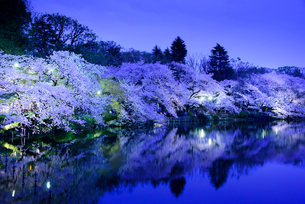 井の頭公園のライトアップされた桜の写真素材 [FYI01688409]