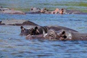 川の中のカバの群れの写真素材 [FYI01688743]