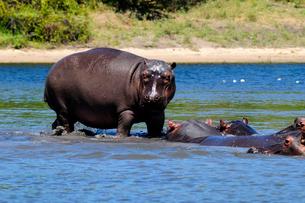 川の中のカバの群れの写真素材 [FYI01689209]