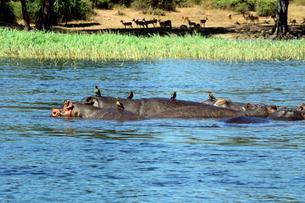 川の中のカバの群れの写真素材 [FYI01689475]