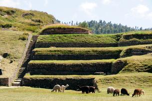 サクサイワマン遺跡の石組みとアルパカの写真素材 [FYI01689566]