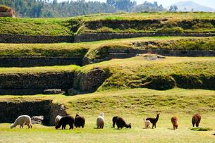 サクサイワマン遺跡の石組みとアルパカの写真素材 [FYI01689707]