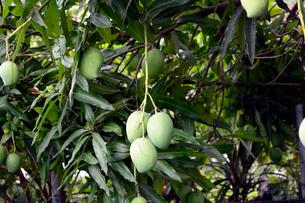 マンゴーの実と木の写真素材 [FYI01690570]