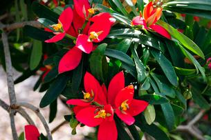 ジャマイカポインセチアの赤い葉の写真素材 [FYI01690664]