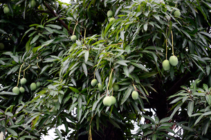マンゴーの実と木の写真素材 [FYI01690667]