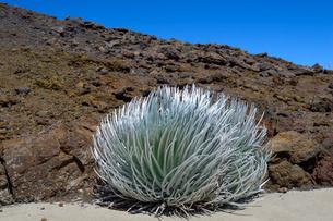 ハレアカラ国立公園の高山植物の銀剣草の写真素材 [FYI01690749]