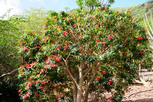 ジャマイカポインセチアの赤い葉の写真素材 [FYI01690821]