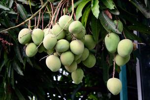 マンゴーの実と木の写真素材 [FYI01690965]