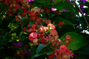 チャイニーズハットの花の写真素材 [FYI01691122]