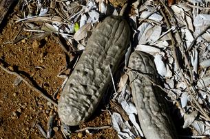 地面に落ちたソーセージツリーの実の写真素材 [FYI01691156]