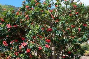 ジャマイカポインセチアの写真素材 [FYI01691610]