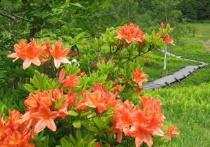 長野県入笠山のレンゲツツジの写真素材 [FYI01691629]