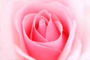 ピンクの薔薇の花の写真素材 [FYI01691643]