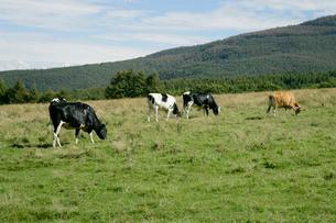 蓼科牧場の牛の写真素材 [FYI01691873]