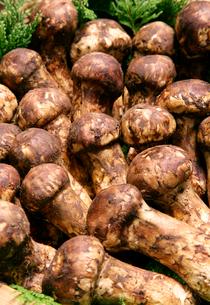 複数の松茸の写真素材 [FYI01692033]