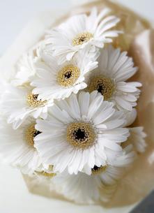 複数の白いガーベラの花の写真素材 [FYI01692104]