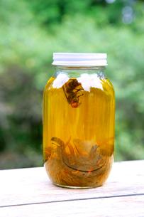 スズメバチの薬酒の写真素材 [FYI01692197]