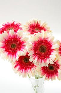 花器にさしたガーベラの花の写真素材 [FYI01692460]