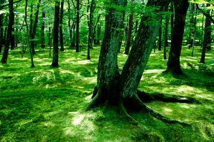 苔に覆われた樹々の写真素材 [FYI01692516]