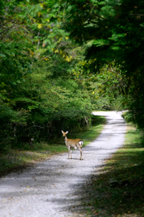 緑の山道に居る鹿の写真素材 [FYI01692581]