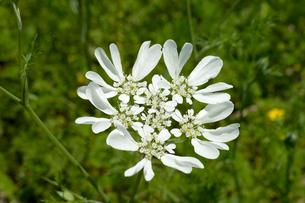 コリアンダーの白い花の写真素材 [FYI01692946]