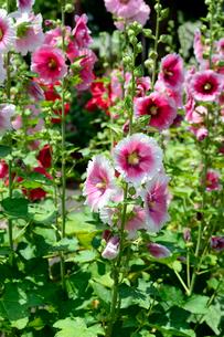 タチアオイの花の写真素材 [FYI01693658]
