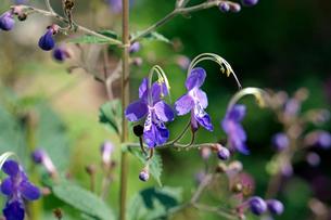 カリガネソウの花の写真素材 [FYI01693671]