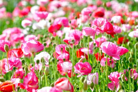 ポピーの花の写真素材 [FYI01693778]
