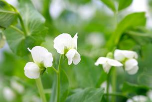 さやえんどうの花の写真素材 [FYI01693787]