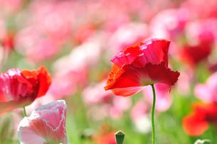 ポピーの花の写真素材 [FYI01693953]