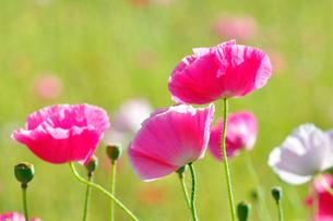 ポピーの花の写真素材 [FYI01694038]