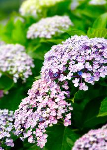 うず紫陽花の花の写真素材 [FYI01694070]