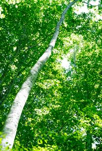 新緑のブナ林の写真素材 [FYI01694079]