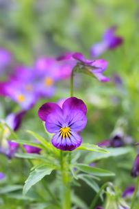 すみれの花の写真素材 [FYI01694096]