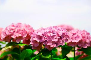 紫陽花の花の写真素材 [FYI01694142]